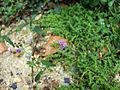 Vernonia cinerea (2).JPG