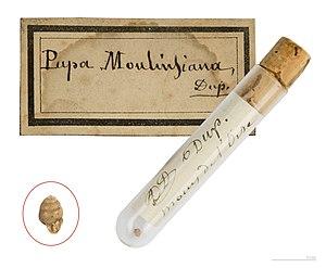 Desmoulin's whorl snail - Vertigo moulinsiana Holotype MHNT