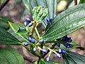 Viburnum Berries.jpg