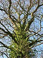 View up a tree - geograph.org.uk - 687269.jpg
