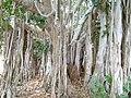 Village fig tree in Chocas- Mossuril (9504380396).jpg
