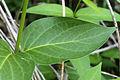 Vincetoxicum rossicum 5492571.jpg