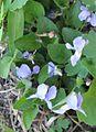 Viola adunca 1.jpg