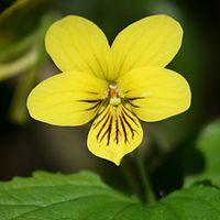Viola brevistipulata in Mount Nishihotaka 2011-07-06.jpg