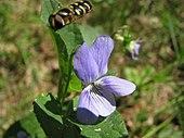 Flower of Viola epipsila