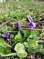 Viola odorata sl16.jpg