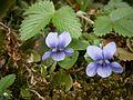 Viola riviniana closeup.jpg