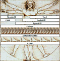 Vitruvian Man Metrology.png