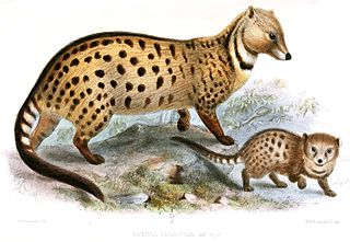 Large-spotted civet species of mammal