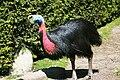 Vogelpark Walsrode - Casuarius casuarius 02 ies.jpg