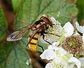 Volucella inanis - Flickr - gailhampshire.jpg