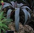 Vriesea saundersii - JBM.jpg