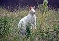 Wallaby de Bennett (Zoo Amiens)3.JPG