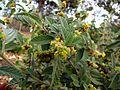 Waltheria indica var. americana (5001605883) (2).jpg