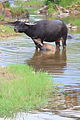 Water buffaloes in Wuyishan Wufu 2012.08.24 15-41-24.jpg