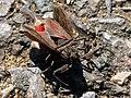 Water scorpion (Nepa cinerea) 1.jpg