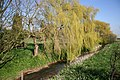 Weeping Willows - geograph.org.uk - 388164.jpg