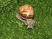 An Appendix V species is the Roman snail