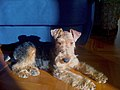 Welsh terrier Asterix.JPG
