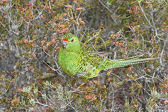 Western ground parrot - Image: Westerngroundparrot