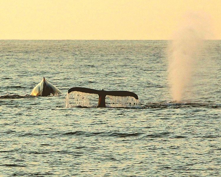 File:Whales - Banderas Bay, Mexico - panoramio.jpg