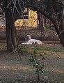 White-Tiger Nandan-Kanan Dec-2008.jpg