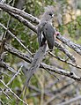 White-backed Mousebird (Colius colius) (31918655304).jpg