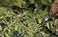 White-bellied Drongo (Dicrurus caerulescens) in Kawal WS, AP W IMG 1541.jpg