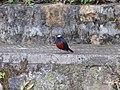 White-capped Redstart - Chaimarrornis leucocephalus - Mar07 057.jpg