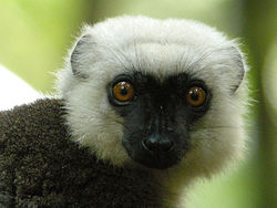 White-headed Lemur, Masoala National Park, Madagascar 2.jpg