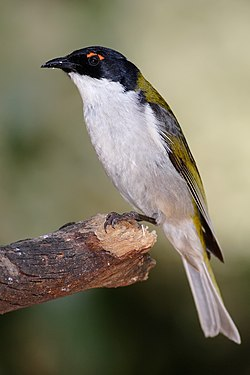 White-naped honeyeater.jpg