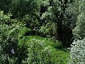 White willows, salix alba, from the Danube Bridge near Hainburg.JPG