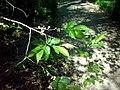 Wiąz syberyjski Ulmus pumila.jpg
