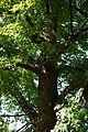 Wiener Naturdenkmal 455 - Winterlinde (Hietzing) b.JPG