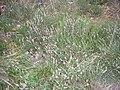 Wik wrzos pospolity (Calluna vulgaris) Puszcza Wkrzańska SDC13489.JPG