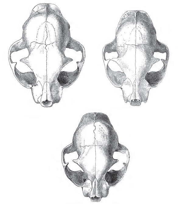Wild-domestic-hybrid cat skulls