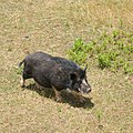 Wild Boar in brown grass.jpg