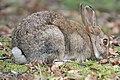 Wild rabbit - February 2009 (3316168543).jpg
