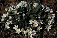 Wildflowers claytonia claytonia acutifolia.jpg