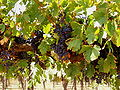 Wine grapes in Barossa Valley. SA.jpg