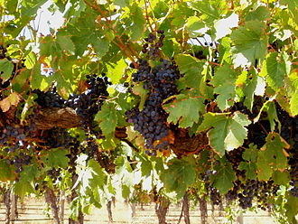 Barossa Valley (wine) - Grapes in the Barossa Valley can get very ripe with high sugar and low acid levels.