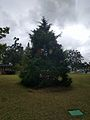 Winter Park Christmas Tree Number 2 (31432646192).jpg