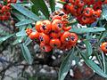 Winter berries (5892370963).jpg