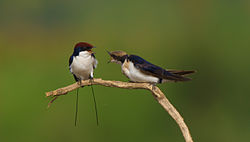 Wire tailed swallow screaming.jpg