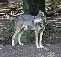 Wolf Tierpark Hellabrunn-3.jpg