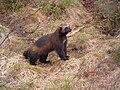 Wolverine, Kristiansand Zoo.jpg