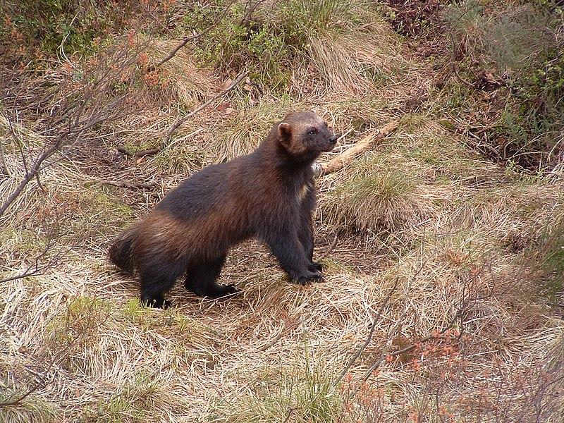 File:Wolverine, Kristiansand Zoo.jpg