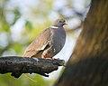 Wood pigeon (47702189482).jpg