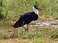 Wooly necked stork 4.jpg