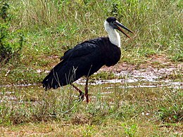 Wooly necked stork 4